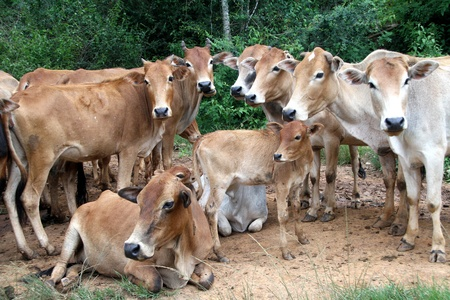 Group of cows on the road near forest in Shan state, Myanmar