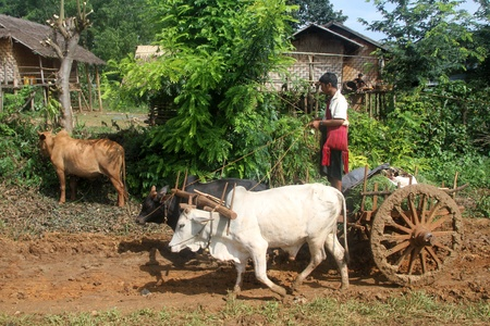 Man stay o the wooden csart with cow, Inle lake region, Myanmar