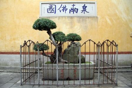 sacral: Kleine sacrale boom in boeddhistisch klooster in Quanzhou, China