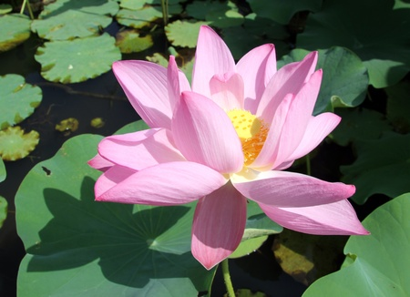 Big lotus flower and green leaves in pond stock photo picture and big lotus flower and green leaves in pond stock photo 13903019 mightylinksfo
