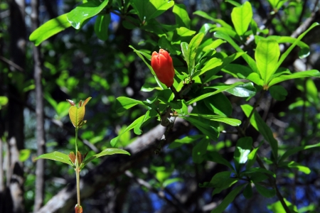 Flower of pomegranate on the branch of tree in orchard, Turkey photo