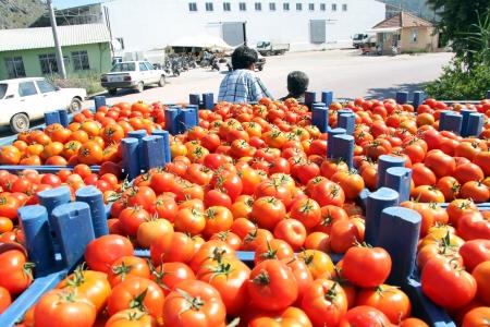 Harvest of tomato in truck in Turkey