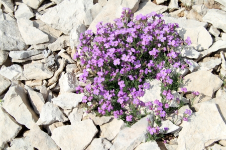 botan: Purple flowers and greebn leavs on the stones Stock Photo