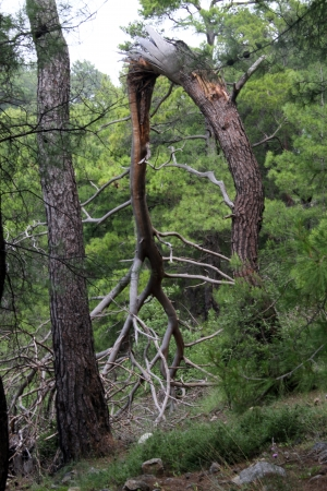 brocken: Brocken pine tree in the forest near rdasan, Turkey