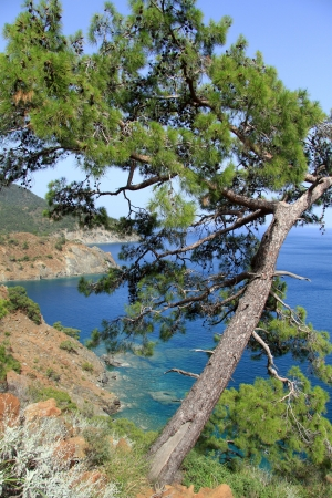 Big pine tree on the Lycian way near Chirali, Turkey photo