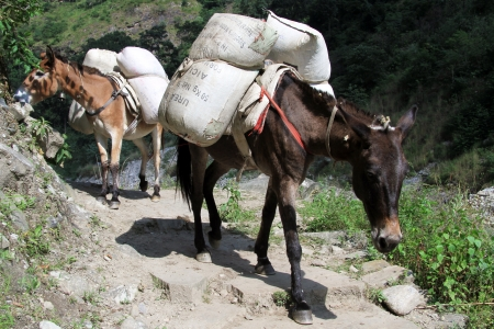 big ass: Donkeys on the road in mountain Nepal