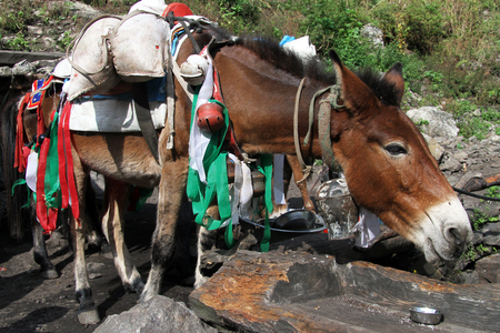big ass: Donkey rest in the village in Nepal Stock Photo