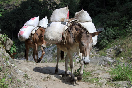 big ass: Donkeys on the footpath in mountain in Nepal