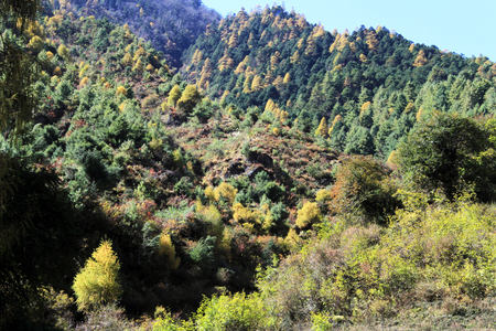 ibn: Yellow and green pine trees ibn mountain in Nepal