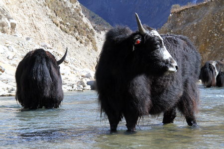 Black yak in the river near Samagoon in Nepal photo