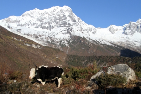 Yak and snow peaks of Manaslu in Nepal photo