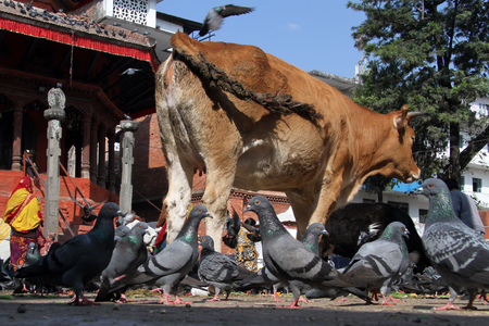 shit: Sacred cow and doves on the Durbar square in Khatmandu, Nepal