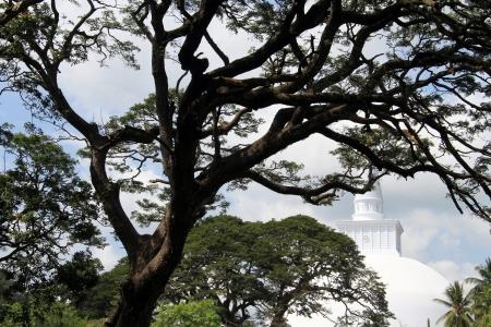 anuradhapura: Very big tree and white stupa in Anuradhapura, Sri Lanka Stock Photo