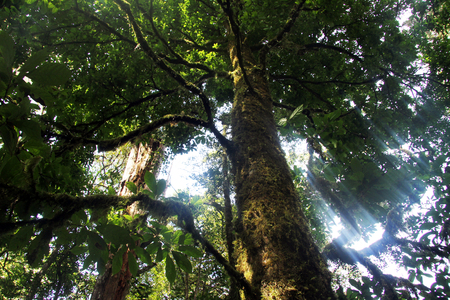 crone: Sunlight and crone of tree in the forest on the slope of Kerinci, Indonesia Stock Photo
