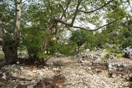 riverbed: Big trees and dry riverbed in Turkey