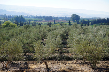 israel farming: Olive trees in kibutz Dan, Israel