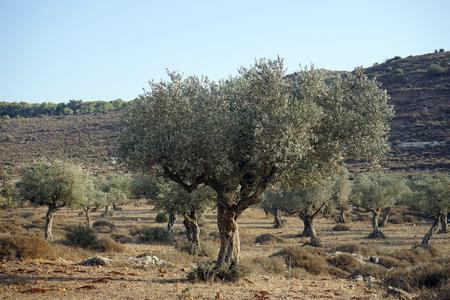israel farming: Olive trees grove near hill in Israel