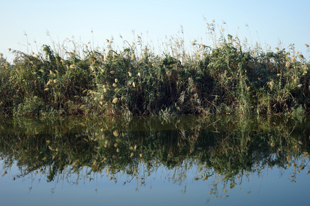 nahal: Reflection of cane on the water of river in Nahal Alexander natioinal park in Israel