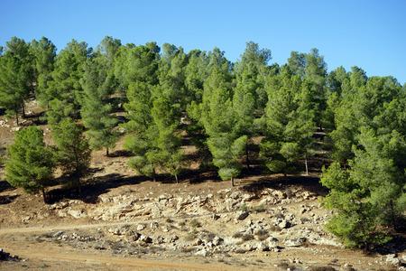 judea: Pine trees on the mount in Judea, Israel