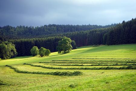 darck: Green grass on the field and fir traa forest under darck cloud sky