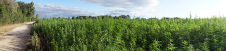 Panorama of road and field with marijuana