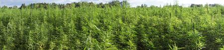 緑のマリファナと圃場のパノラマ