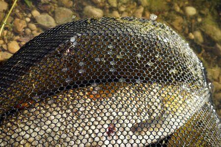 the big fish: Big fish in net near the river Stock Photo