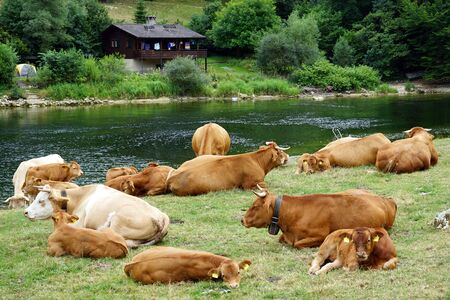 Herd of cows on the bank of river Doubs in Switzerland