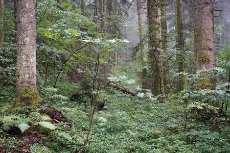 dense forest: Trunks of pine trees in the dense forest in Switzerland