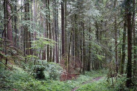 dense: Footpath in the dense forest in Switzerland