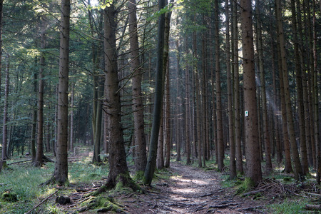 Albsteig hiking trail in the fir-tree forest in Swabia, Germany