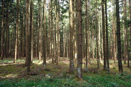 firtree: Sunny fir-tree forest in Swabia, Germany