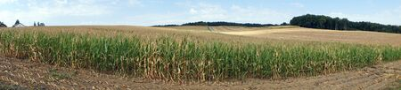 monoculture: Panorama of cornfield in Swabia, Germany