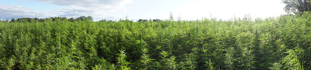 plant seed: Panorama of fsrm field with marijuana