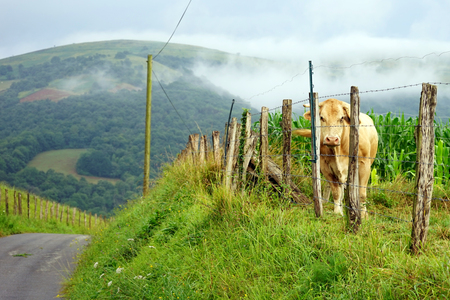 non urban 1: Cow and fence on the farm field in France