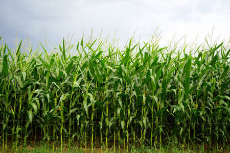 non cultivated: Young green corn field in France Stock Photo