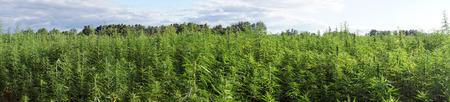 indigenous medicine: Panorama of farm field with green marijuana Stock Photo
