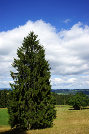firtree: Fir-tree and grass on the field and cloud in Switzerland Stock Photo
