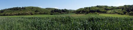 serbia: Panorama of green corn field in Serbia