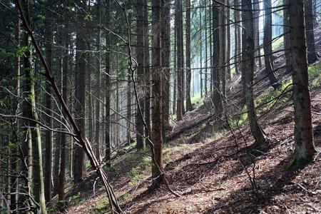 dense forest: Sunlight in the dense forest in Austria