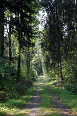dense forest: Track in the dense forest in Germany Stock Photo