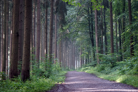 Dirt road in pine tree forest in Germany