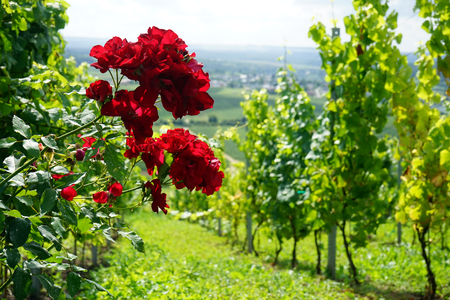 Red roses and vineyard in Mosell valley
