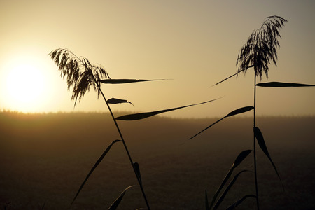 botanical farms: Sunrise and cane on the farm field