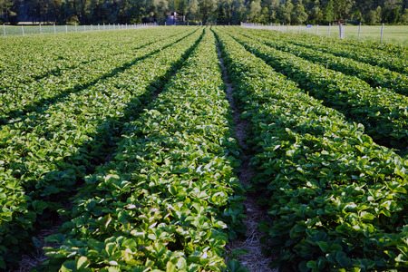 Strawberry rows in the field near the forest, Austria Stock Photo