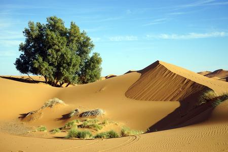 Tree in Sahara deseert near Merzuga village in Morocco Standard-Bild - 97704415