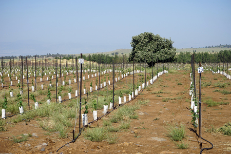 Rows of young trees in Galilee, Isrsael