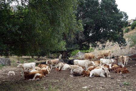 Cows under tree in Galilee, Israel Stock Photo
