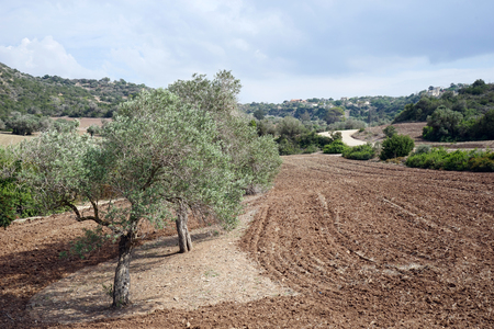 Olive trees and plowed land in North Cyprus