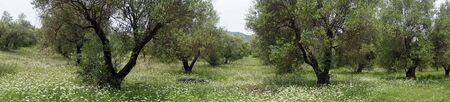 Fleurs sauvages dans l'oliveraie en Grèce Banque d'images